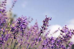 Lavender flowers blooming. Purple field flowers background. Tender lavender flowers. stock photo
