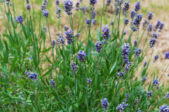 Lavender flowers blooming. Purple field flowers background. Tender lavender flowers. stock images