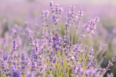 Lavender flowers blooming. Purple field of flowers. Tender lavender flowers. stock photos