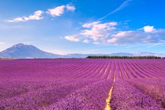 Lavender flowers blooming fields. Valensole Provence, France. Lavender flowers blooming scented fields in endless rows. Landscape in Valensole plateau, Provence Royalty Free Stock Image
