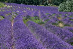 Rows of lavender flowers winding in a field stock images