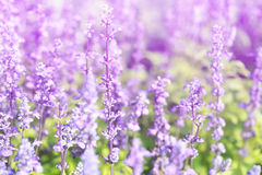 Lavender flowers blooming Vintage color in the garden. Royalty Free Stock Image