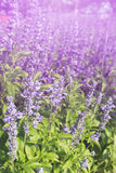 Lavender flowers blooming Vintage color in the garden. royalty free stock photos