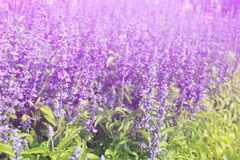 Lavender flowers blooming Vintage color in the garden. Stock Photo