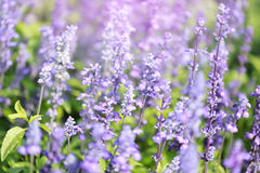 Lavender flowers blooming Vintage color in the garden. royalty free stock images