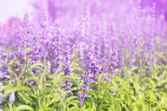 Lavender flowers blooming Vintage color in the garden. royalty free stock photo