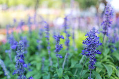 Lavender flowers are blossoming. stock image