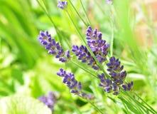 Lavender flowers. Blue lavender flowers Stock Photos