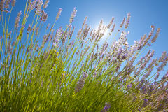 Lavender flowers with the blue sky Royalty Free Stock Photos