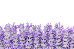 Lavender Flowers Border over White Background Royalty Free Stock Images