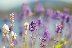 Lavender Flowers in bright day light during summer Royalty Free Stock Images