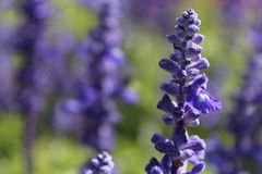 Lavender Flowers Bulk Royalty Free Stock Images