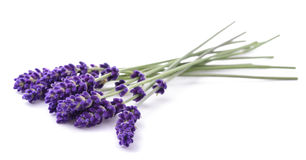 Lavender flowers bunch Stock Images