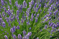 Lavender. Flowers. Bunch of scented flowers in the lavanda fields of the French Provence. Berger des Abeilles stock photos