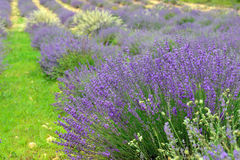 Lavender. Flowers. Bunch of scented flowers in the lavanda fields of the French Provence. Berger des Abeilles Stock Image