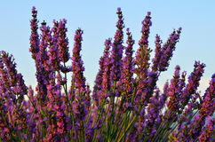 Lavender. Flowers. Bunch of scented flowers in the lavanda fields of the French Provence at sunset. Berger des Abeilles Royalty Free Stock Photos