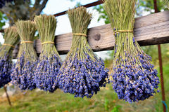 Lavender flowers. Bunches of lavender flowers on a wooden fence outdoor. Provence, France Stock Image