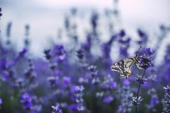 Lavender flowers in field with buterfly stock images
