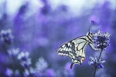 Lavender flowers with buterfly Stock Images