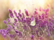 Lavender flowers and butterfly Royalty Free Stock Photography