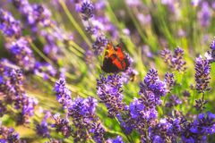 Lavender Flowers. Butterfly on lavender flower close-up stock image