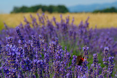 Lavender Flowers With Butterfly Stock Images