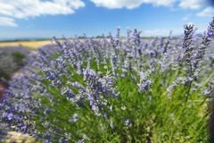 Lavender flowers close up Royalty Free Stock Photography