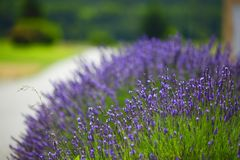 Lavender flowers close up Stock Photo