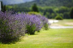 Lavender flowers close up Stock Photography