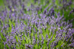 Lavender flowers close up Royalty Free Stock Images