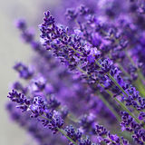 Lavender flowers Royalty Free Stock Photos