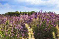 Lavender Flowers. Lavender close up against the sky with clouds royalty free stock photos