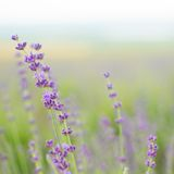 Lavender flowers close-up Stock Images