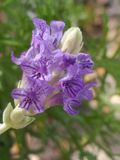 Lavender Flowers. Close up of the flowers on a lavender plant royalty free stock photography