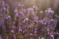 Lavender flowers close up. Stock photo Royalty Free Stock Photography