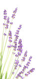 Lavender flowers in closeup. Royalty Free Stock Photo