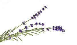 Lavender flowers in closeup. Bunch of lavender flowers isolated over white background. Awesome top view with purple