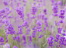 Lavender flowers closeup Royalty Free Stock Photography