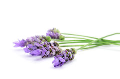 Lavender flowers. Closeup of some colorful lavender flowers on a white background royalty free stock photos