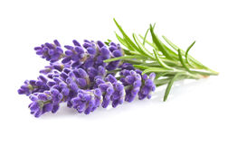 Lavender flowers. In closeup on a white background