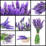 Lavender flowers collage Stock Images