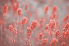 Lavender Flowers in Colour of the year 2019 Pantone Coral. Lavender Flowers in Colour of the year 2019 Pantone - Living Coral royalty free stock photos