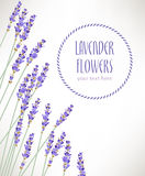 Lavender flowers. Composition made of lavender flowers with copy space Royalty Free Stock Photo