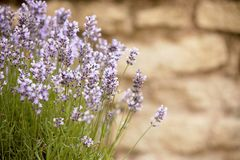 Lavender flowers with copy space Stock Photos