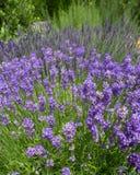 Lavender Flowers In Cottage Garden