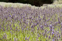 Lavender flowers. Covering a field with a lot of bees Royalty Free Stock Photo
