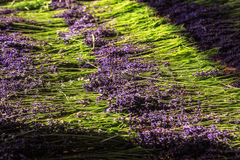 Lavender Flowers. Cut flowers of lavender are dried in the sun stock photography