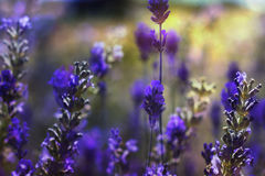 Lavender flowers. Detail of lavender flowers blooming in a garden Royalty Free Stock Photo