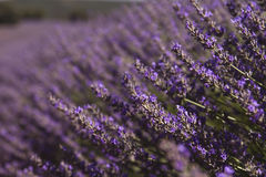 Lavender flowers detail. Close up of lavender flowers in a field Stock Image