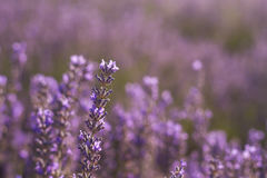 Lavender flowers detail. Lavender flowers close up, stock photo Royalty Free Stock Images